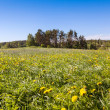 Summer meadow with green grass and dandelion — Stock Photo #40009467