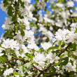 White blossoms of apple tree — Stock Photo #41442907