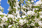 White blossoms of apple tree — Stock Photo