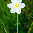 White Narcissus in the grass — Stock Photo #26363811