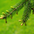 Coniferous branch — Stock Photo