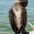 Stock Photo: Portrait of Great Cormoran (Phalacrocorax carbo) standing