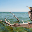 Portrait of Great Cormoran (Phalacrocorax carbo) standing on a branch — Stock Photo