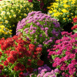 Background with beautiful colorful potted chrysanthemums smiling in the late summer afternoon sunshine — Stock Photo