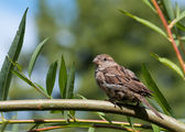 House Sparrow (Passer domesticus) sitting on a twig — Stock Photo