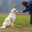 Stock Photo: Young girl training and motivate her Bucovinshepherd dog