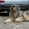 Portrait of mioritic romanian shepherd dog guarding a car — Stock Photo