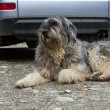 Portrait of mioritic romanian shepherd dog guarding a car — Stock Photo #18388153