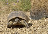 Horská želva v přirozeném prostředí — Stock fotografie