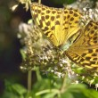 Butterfly in natural habitat (melitaea aethera) — Stock Photo