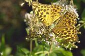 Butterfly in natural habitat (melitaea aethera) — Stock Photo