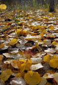 Hintergrund ab herbst gelbes laub mit regen tröpfchen. — Stockfoto