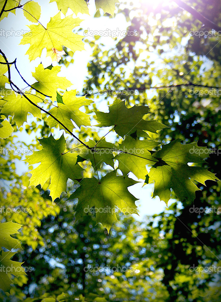 Background from green leaves of a maple.    — Stock Photo #13323284
