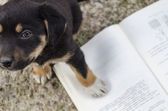 Puppy is Studing Hard — Stock Photo
