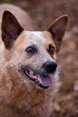 Cattle dog — Stock Photo
