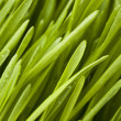Fresh Green Organic Wheat Grass — Stock Photo