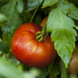 Ripe Organic Heirloom Tomatoes in a Garden — Stock Photo #30068129