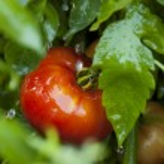 Ripe Organic Heirloom Tomatoes in a Garden — Stock Photo