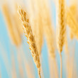 Organic Golden Wheat Crop — Stockfoto