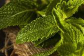 Hoja de menta verde orgánico — Foto de Stock