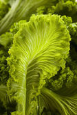 Organic Raw Mustard Greens — Stock Photo