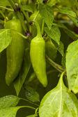 Raw Organic Jalapeno Pepper — Stok fotoğraf