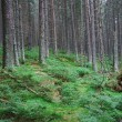 Stock Photo: Green pine forest and undergrowth