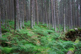 Green pine forest and undergrowth — Stock Photo