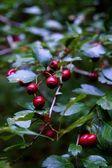 Dogwood bush — Stock Photo