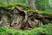 The roots of an old tree and green undergrowth — Stock Photo