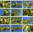 Wild apple — Stock Photo #12884663