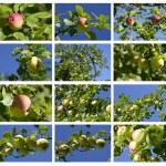 Wild apple — Stock Photo