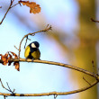 Stock Photo: Parus major