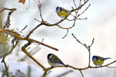 Parus major — Stock Photo