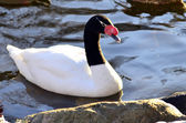 Black necked Swan — Stock Photo