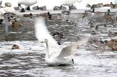 Swan landing — Stock Photo