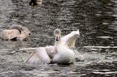 A gray swan splash — Stock Photo