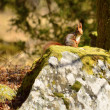 Squirrel in the woods — Stock Photo #24108351