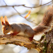 Squirrel in the woods — Stock Photo #24108487
