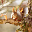 Squirrel in the woods — Stock fotografie