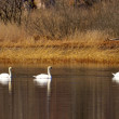 Swans by lake — Stock Photo #24124541