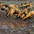 Little ducklings resting — Stock Photo