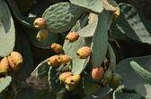 Prickly pear cactus fruit — Stock Photo