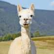 Cute, white alpaca portrait. — Stock Photo