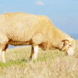 Sheep eating grass — Stock Photo