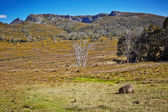 Amazing view with wombat eating grass — Foto Stock