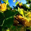 Pfalz vineyard — Stock Photo