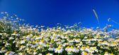 Daisy flowers. — Stock Photo