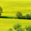 Yellow field — Stock fotografie