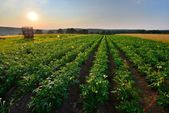 Golden potato field — Stock Photo